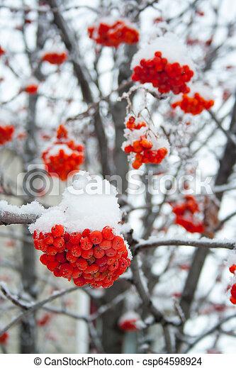 rowan, couvert, neige - csp64598924