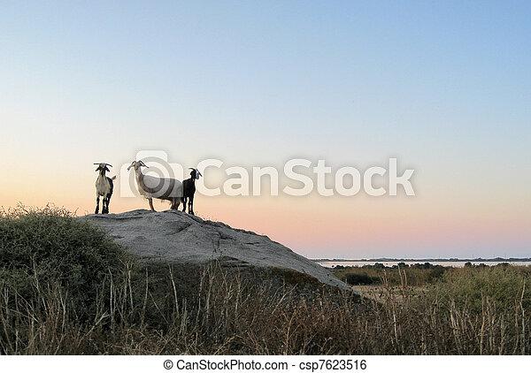 soir, chèvres, temps - csp7623516